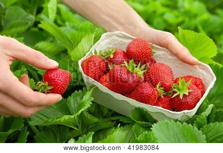 Harvesting Perfect Strawberries