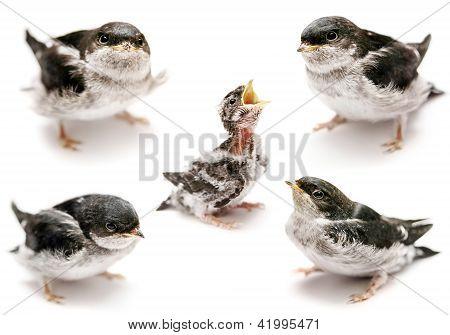 Baby bird of Sand Martin swallow