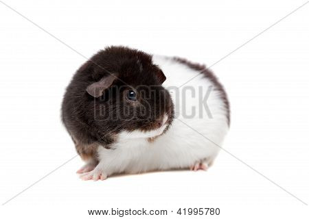 Teddy Guinea pig on white
