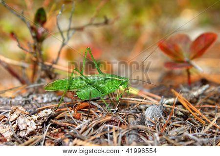 Fork-tailed Bush Katydid (Scudderia furcata)