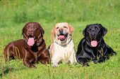 stock photo of recliner  - Three Labrador Retriever dogs on the grass - JPG
