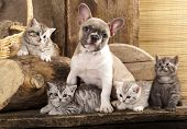 stock photo of bulldog  - Cat and dog - JPG