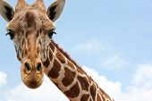 stock photo of nostril  - A close up of the head of a giraffe - JPG