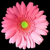 picture of single flower  - single pink and yellow gerber daisy stem on a black background - JPG