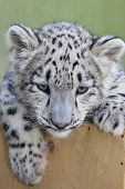 stock photo of panthera uncia  - Small snow leopard - JPG