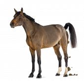 stock photo of defecate  - Male Belgian Warmblood - JPG