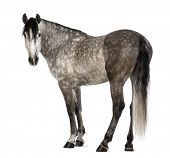 Andalusian, 7 years old, looking at camera, also known as the Pure Spanish Horse or PRE against white background poster