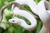 stock photo of snake-head  - Texas rat snake creeping on a wooden branch - JPG