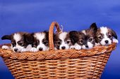 stock photo of epagneul  - Five Papillon Puppies - JPG