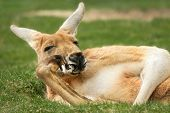 stock photo of species  - Funny outdoor portrait of a relaxed kangaroo posing like a human and looking into the camera - JPG