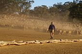 picture of mustering  - Farmer moving sheep out of a dusty feed lot into another paddock - JPG