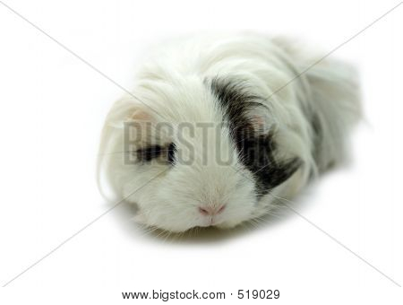 Animal - Guinea Pig (cavia Porcellus)