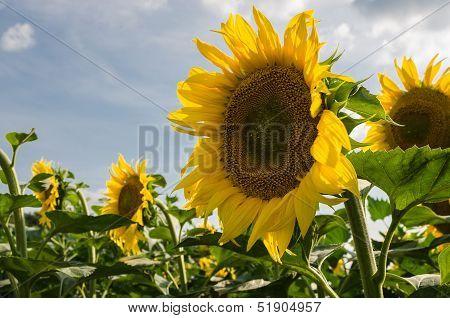 Blooming Sunflower.
