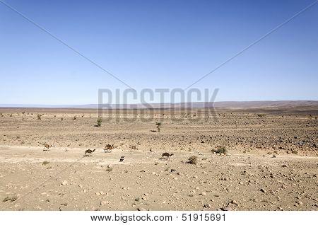 Morocco, Draa Valley, Dromedaries, Sheeps And Goats