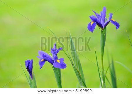Blue Iris Array