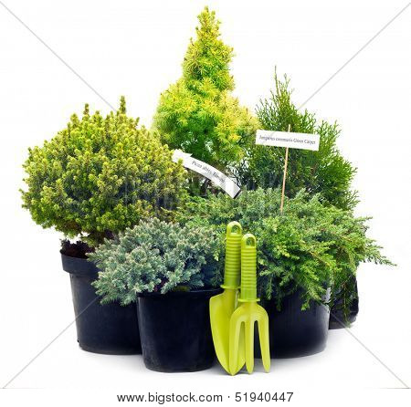 Conifer sapling trees in pots isolated on white.