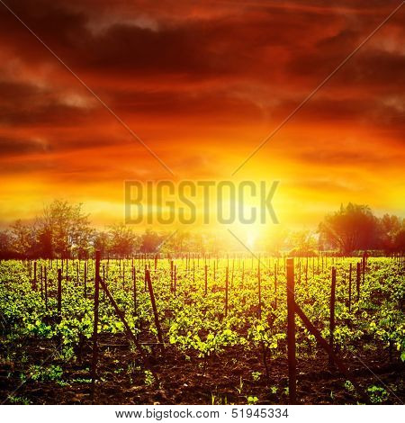 Vineyard in bright yellow sunset light, dramatic skyscape, autumnal nature, agricultural industry, grape produce, viticulture concept