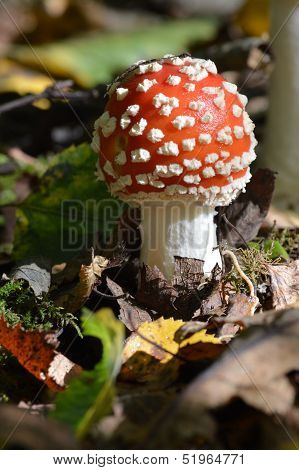 Amanita muscaria or Fly Agaric Poisonous Toadstool