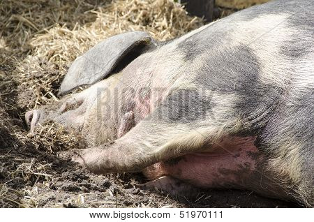 Head Of A Pig Sleeping
