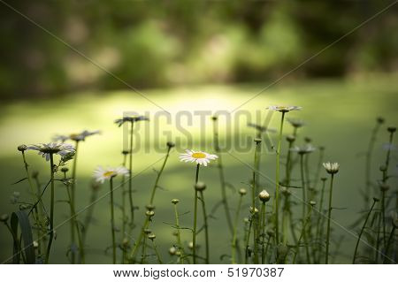 Row Of Daisy Flowers