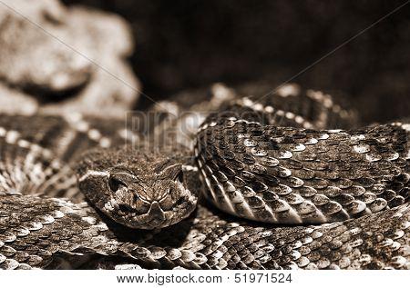 Western Diamondback Rattlesnake Closeup