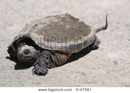 Snapping Turtle Chelydra Serpentina Re4539
