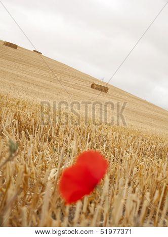 Poppy On A Field