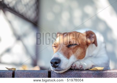 jack russel on autumn porch