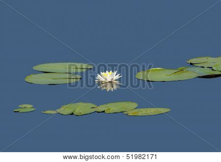 Water Lily Star