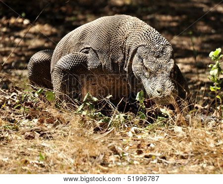 Komodo Dragon in the Wild