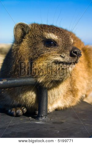 Rock Dassie Portrait