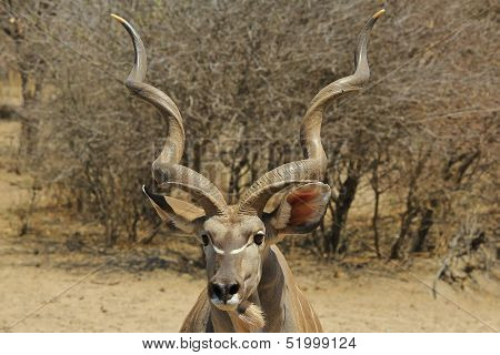 Kudu - Wildlife Background from Africa - Spirals of Pride