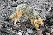 picture of zorro  - The culpeo sometimes known as the culpeo zorro or Andean fox  - JPG