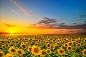 stock photo of cloudy  - field of blooming sunflowers on a background sunset - JPG