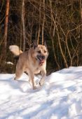 picture of laika  - West Siberian Laika running in winter forest - JPG