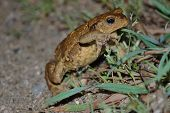 Common Toad (b. Bufo)