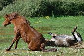 stock photo of wallow  - horse couple wallowing in the mud of grassland - JPG