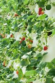 stock photo of hydroponics  - Hydroponically grown Strawberry vines growing in a hothouse - JPG