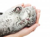 stock photo of pussy  - Sleeping kitten on hand white background - JPG