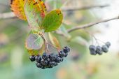 stock photo of aronia  - aronia on tree close up - JPG