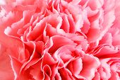 stock photo of carnation  - close up of carnation flowers in red and pink - JPG