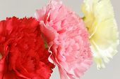 image of carnations  - close up of carnation flowers in red and pink - JPG