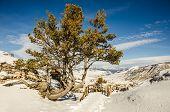 stock photo of pinus  - Whitebark pine  - JPG