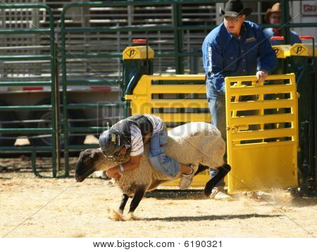 Child Rides Sheep In Mutton Busting Contest