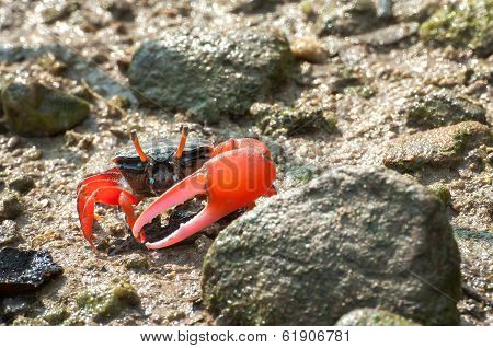 Red-clawed Fiddler Crab In The Mangroves Of Tai O, Hong Kong
