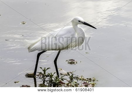 Little Egret in the pond