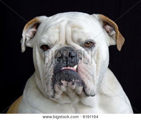 Portrait of female English Bulldog on Black