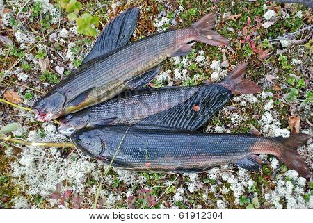 Catch The Siberian Grayling.