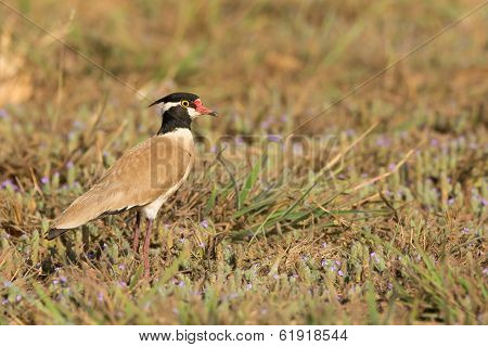 Black-headed Plover In A Field With Purple Flowers