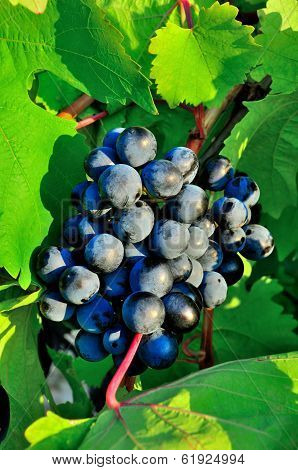 Bunch Of Ripe Grape With Green Leaves